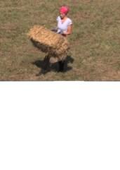 Misica se muči z balami sena, ki so težje od nje